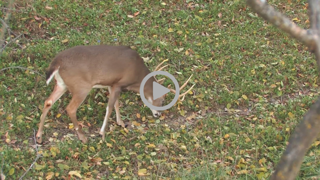 How To | Field Dressing Deer | Midwest Whitetail