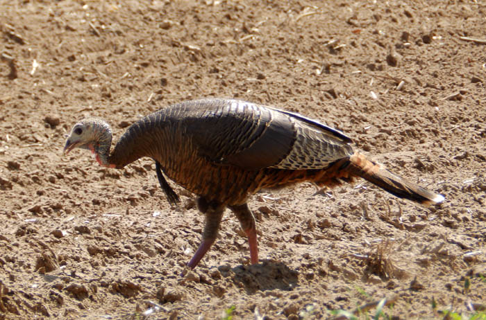 How rare it is to shoot a bearded hen turkey midwest whitetail bearded hen turkey publicscrutiny Choice Image